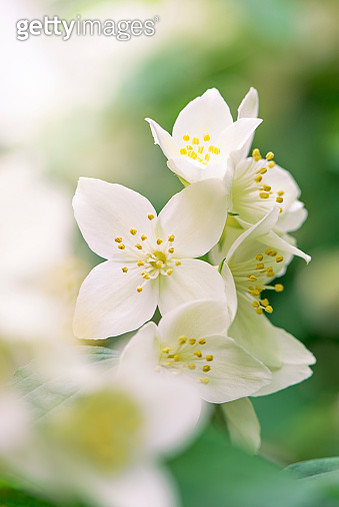 Close-up image of a Mock Orange shrub, white summer flower also known as Philadelphus, image taken against a soft background. - gettyimageskorea