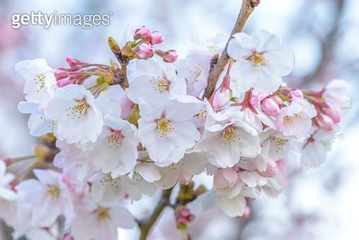 White Cherry Blossom Sakura In Japan - gettyimageskorea