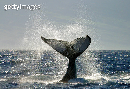 Endangered species Humpback whale tail slapping off coast of Maui, Hawaii. - gettyimageskorea