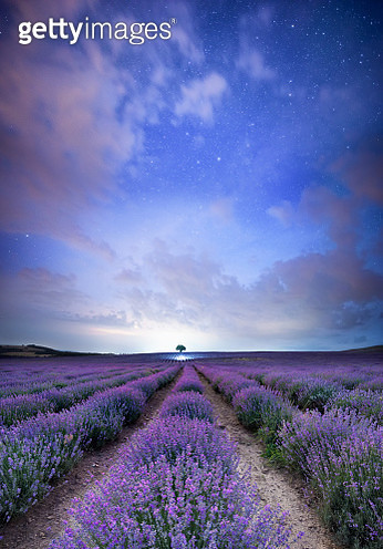 Magical Lavender nights - gettyimageskorea
