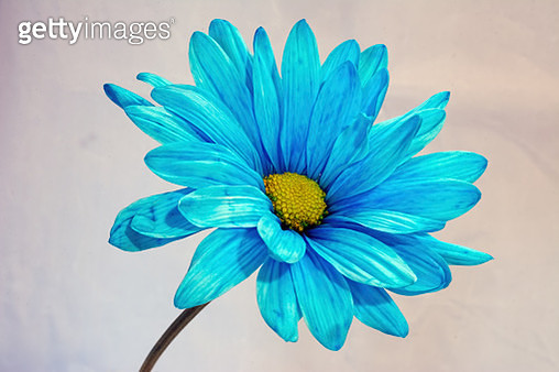 Blue Daisy Portrait Two 722 - gettyimageskorea