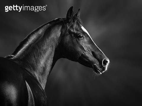Portrait of black purebred horse - gettyimageskorea