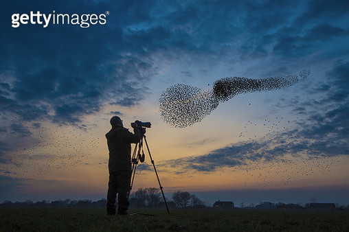 Flock of migrating starlings get attacked by hawk. - gettyimageskorea