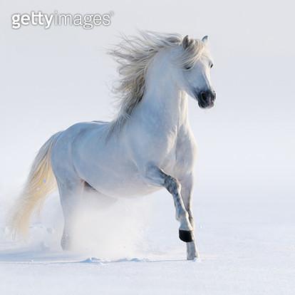 Galloping white horse - gettyimageskorea