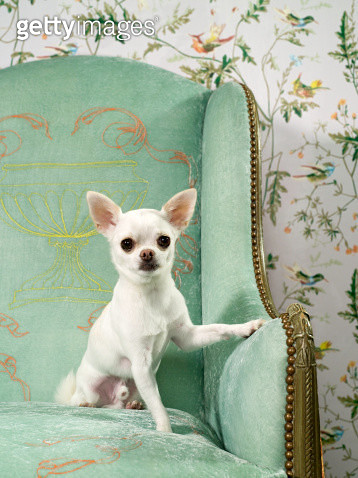 Chihuahua on chair with wallpaper - gettyimageskorea