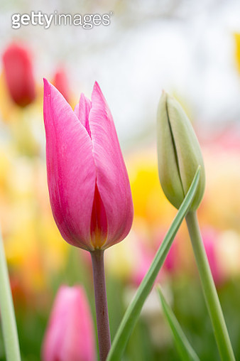 Close-Up Of Pink Tulip Flower - gettyimageskorea