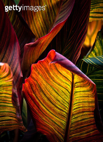 Bold, vibrant and beautiful multi-coloured  Leaves of the Canna plant. - gettyimageskorea
