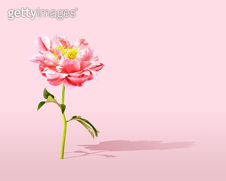Single pink peony on a pink background with long shadow. Room for copy. - gettyimageskorea