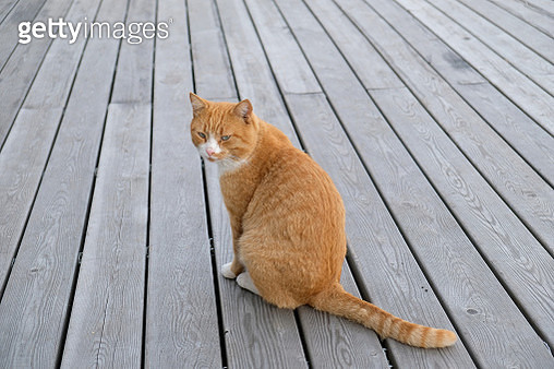 Stray stray cat sitting on a wooden pier, waiting for the owner, looking away. Adoption of Pets. - gettyimageskorea