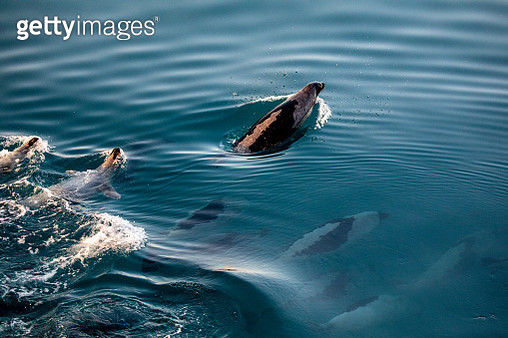 Harp Seals swimming in formation- including some swimming upside down in Greenland. - gettyimageskorea