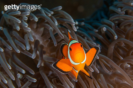 A clownfish swimming in an anemone. - gettyimageskorea