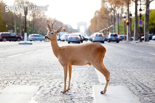 Deer standing in crosswalk on Champs-Élysées - gettyimageskorea