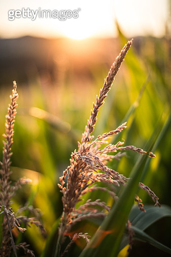Close-up of rice plant - gettyimageskorea