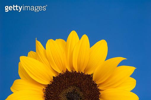 Sunflower on blue background - gettyimageskorea