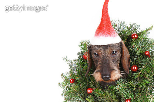 Haired dachshund in the New Year decor isolated on white - gettyimageskorea