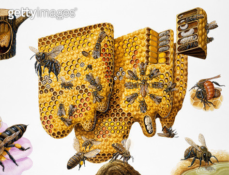 Honey bees, (Apis mellifera) honeycomb and life cycle, expanded cross-section and insets - gettyimageskorea
