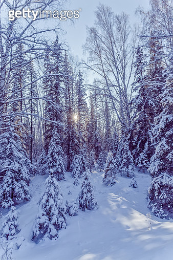 Winter day in the pine forest of the taiga - gettyimageskorea