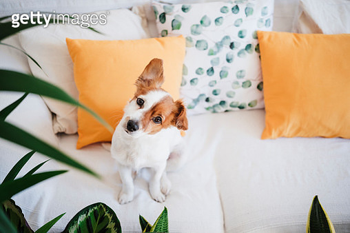 Dog with sitting on sofa at home - gettyimageskorea