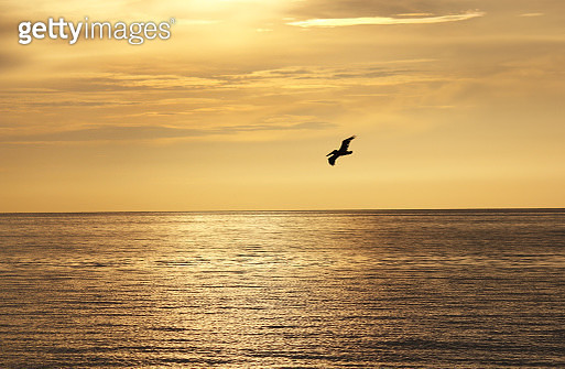 A single pelican takes flight against gold colored sky. A start of another beautiful day in sunny Florida. - gettyimageskorea