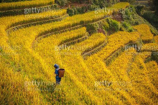 Farmer walking on rice paddy fields terraced - gettyimageskorea
