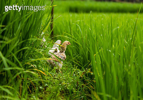 Hens foraging along retaining wall of rice paddy terraces - gettyimageskorea
