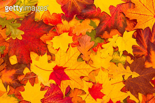 Full Frame Shot Of Maple Leaves During Autumn - gettyimageskorea