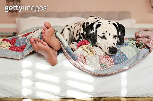 Girls feet peeking out from under blanket, Dalmatian dog on top of bed - gettyimageskorea