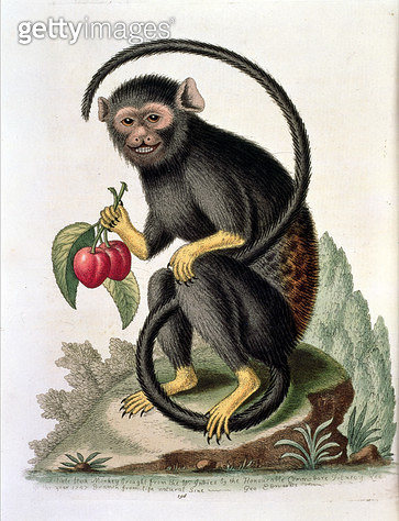 <b>Title</b> : T17196 A Little Black Monkey, plate 196 from Part 1 of 'Gleanings of Natural History', 1758 (engraving)<br><b>Medium</b> : <br><b>Location</b> : Natural History Museum, London, UK<br> - gettyimageskorea