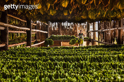 Tobacco plantation in the countryside, drying out tobacco leaves for cigars - gettyimageskorea