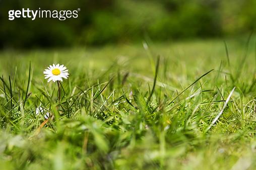 Daisy in a lawn - gettyimageskorea
