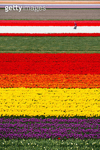 Netherlands, Lisse, Fields of Tulips, Farmer at Work, Aerial - gettyimageskorea