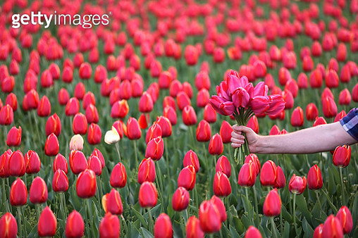Man's hand picking up the tulips from the field - gettyimageskorea