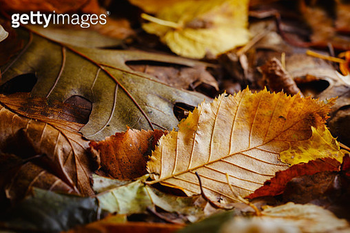 Close-Up of autumn leaves on ground - gettyimageskorea