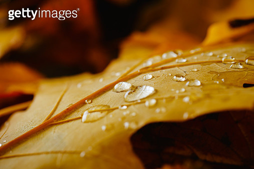 Raindrops on autumn yellow leaf - gettyimageskorea