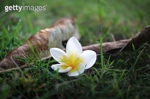 Close-Up Of White Crocus Flower On Field - gettyimageskorea