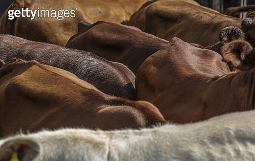 Cows in an inclosure - gettyimageskorea
