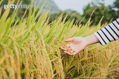 woman hand touching ears of paddy - gettyimageskorea