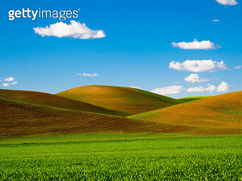 Rolling Hills and Patterns of Sprig Wheat Fields - gettyimageskorea
