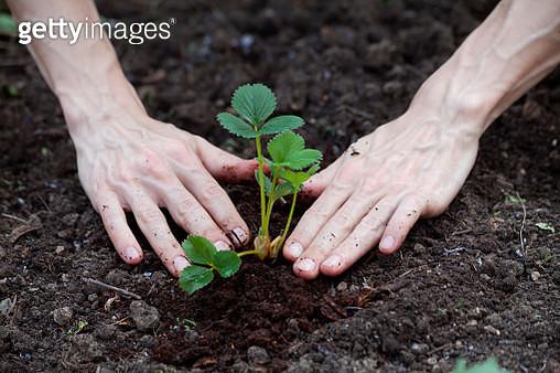 Hand planting strawberry plant in garden soil - gettyimageskorea