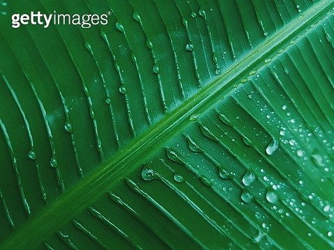 Close-Up Of Water Drops On A Banana Leaf - gettyimageskorea