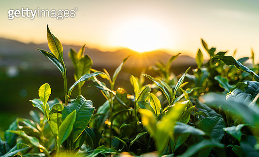 Tea garden - gettyimageskorea