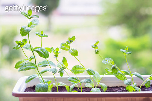 Fresh Mint Plant Potted - gettyimageskorea