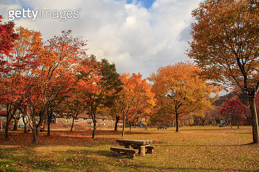 Maple tree in the park - gettyimageskorea