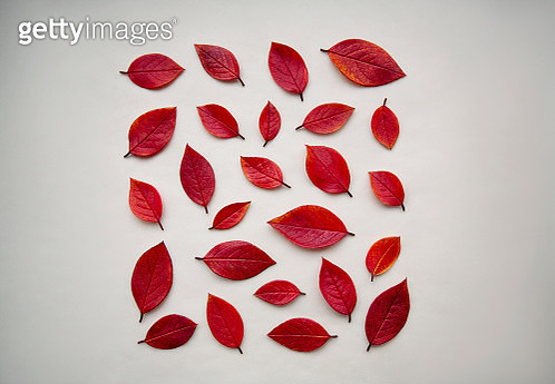 Red autumn leaves - gettyimageskorea
