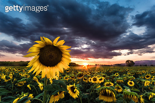Sunflowers Blooming On Field Against Cloudy Sky - gettyimageskorea