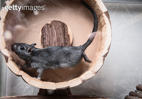 Gerbil running on wooden wheel - gettyimageskorea