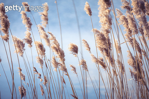 nature background of a reeds in Normandy , France - gettyimageskorea