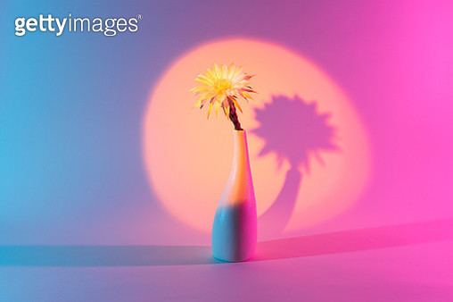 Cactus Flower in Vase Under a Spotlight Against Multi Colored Light Effect Background. - gettyimageskorea