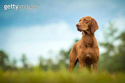 A beautiful Vizsla dog stands in grass and looks to the side. - gettyimageskorea