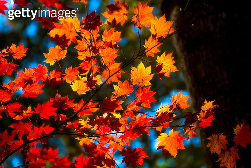 Illuminated red-orange color of maple leaves. - gettyimageskorea